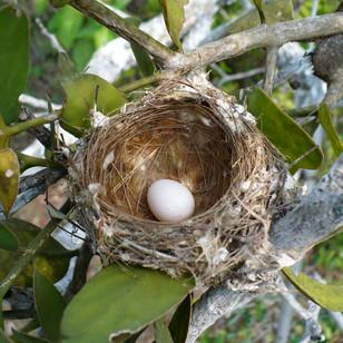 Bird nest on a mistletoe