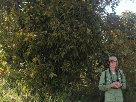 Novo paper aceito! Biomassa de ervas-de-passarinho em savanas amazônicas