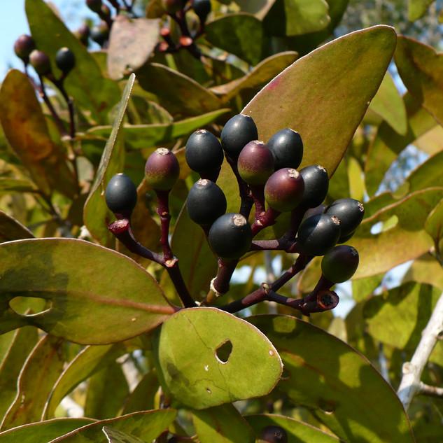 Psittacanthus plagiophylllus fruits