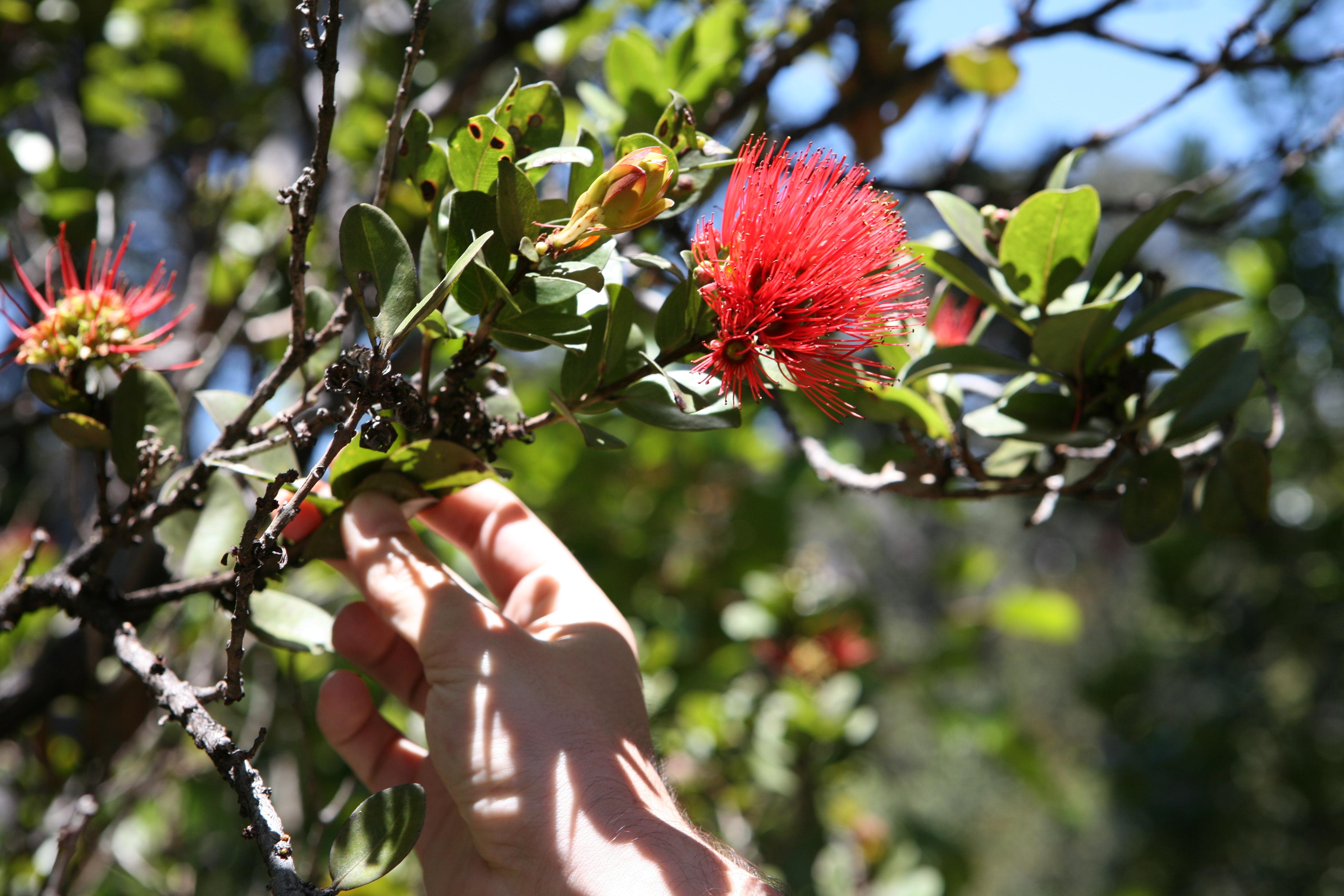 Ohia tree with blooming lehua flower