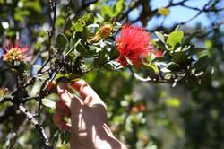 Ohia tree with blooming Lehua