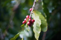 Coffee from Hamakua