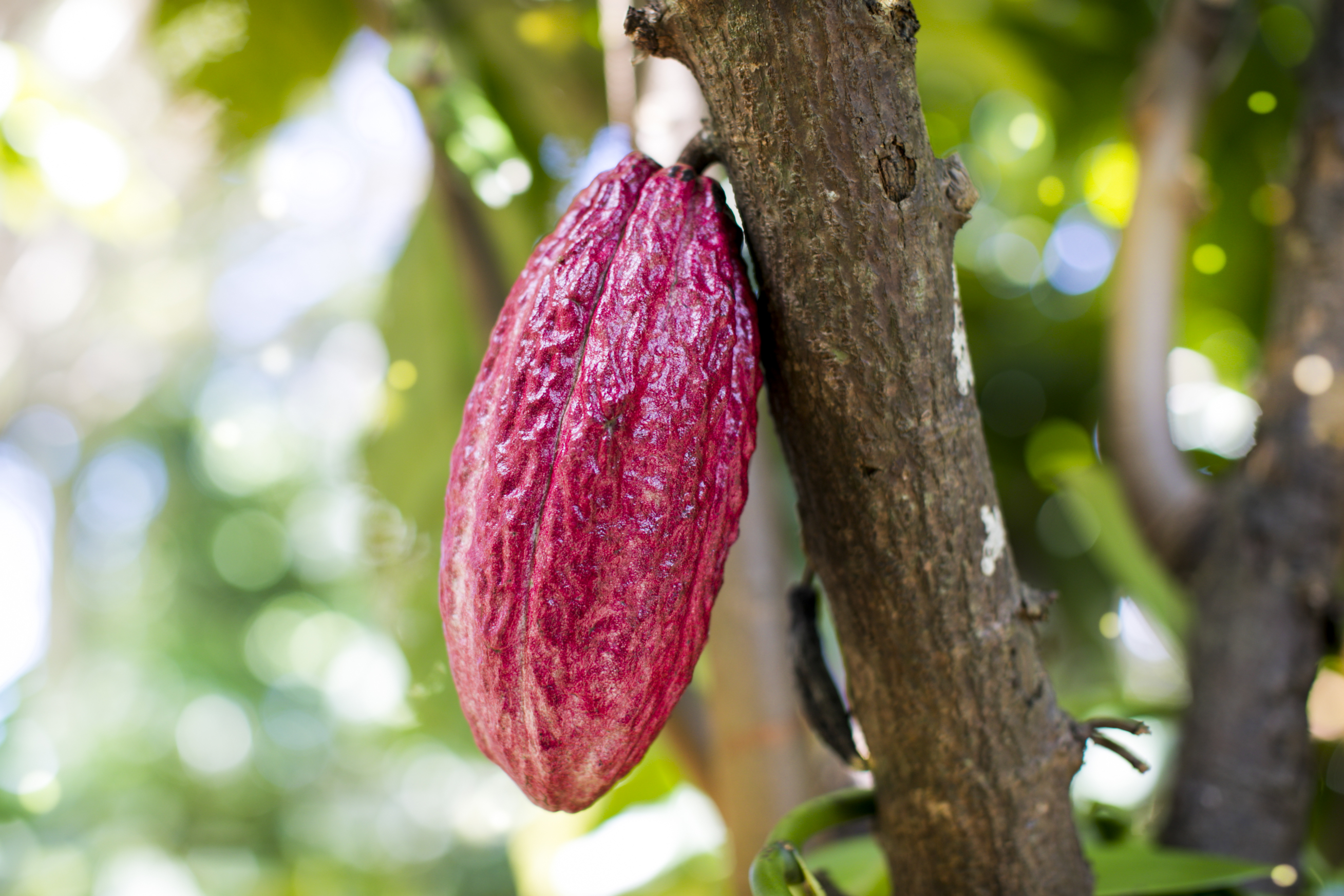 Cocao tree