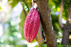 Cocao tree