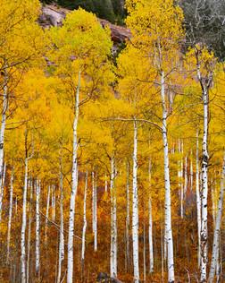 Yellow Aspen