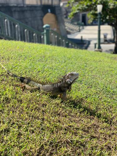 Iguana Jive