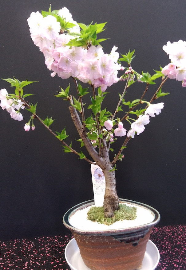 福島サクラモリプロジェクト 八重桜