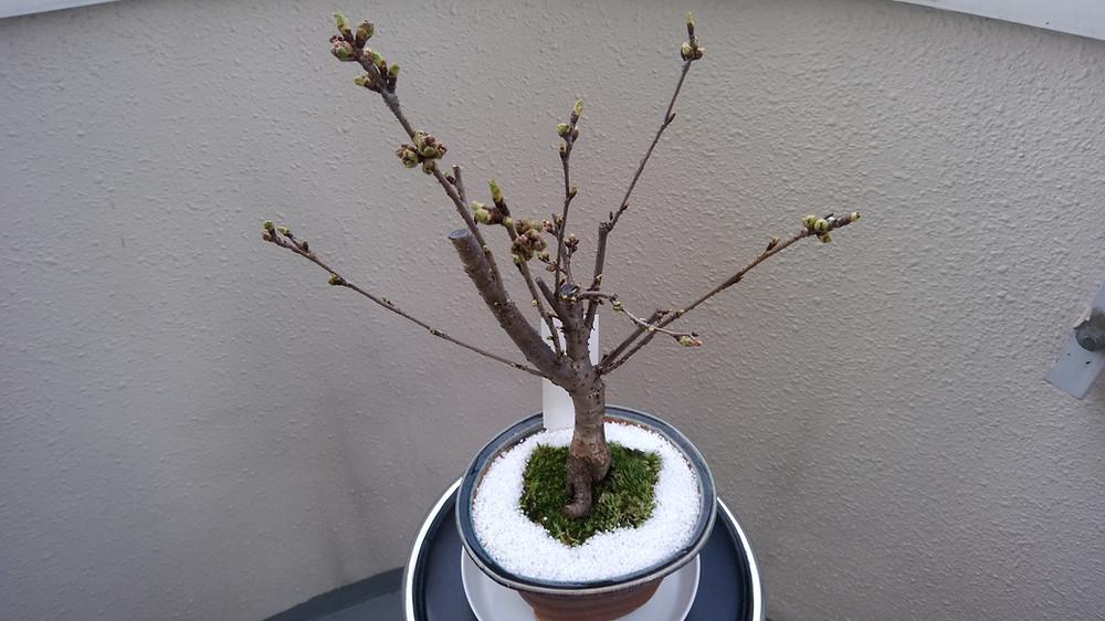 ふくしまサクラモリプロジェクト 八重桜