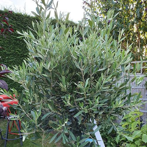 Olive standard - 150cm