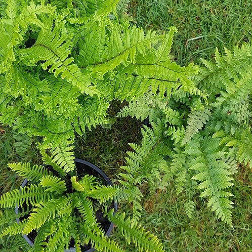 Plant & Pour - The Fern Selection