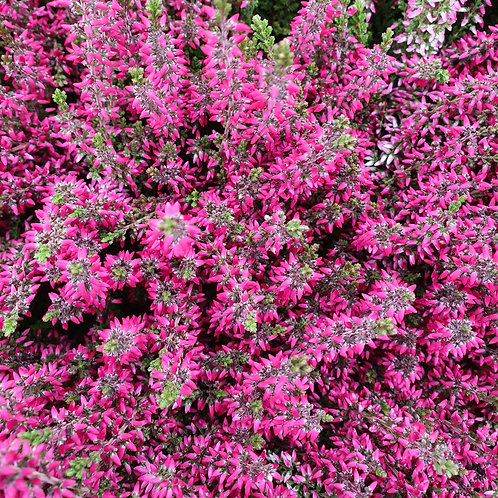 Heather Garden Girls Pink