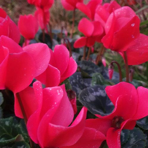 Cyclamen - Giant flower - Red