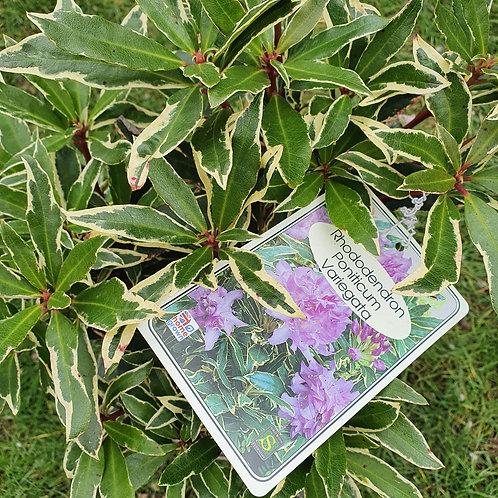 Rhododendron poniticum Variegata
