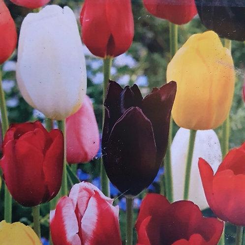 Tulip - Mixed - 20 bulbs