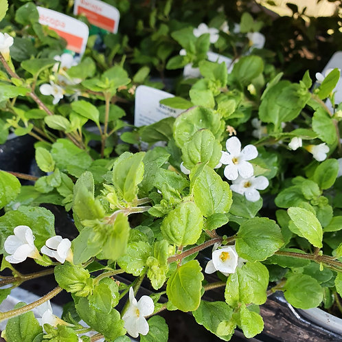 Bacopa - White - 3 for £5
