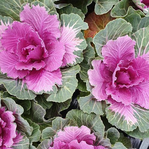 Kale - Rose