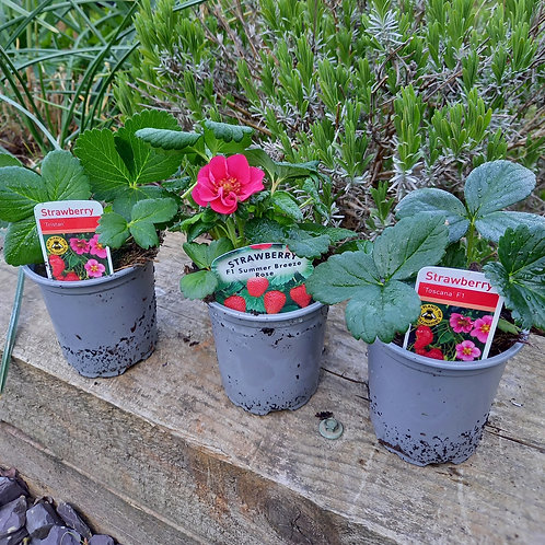 Strawberry - 3 varieties for £5