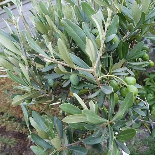 Olive Standard - 60-80cm