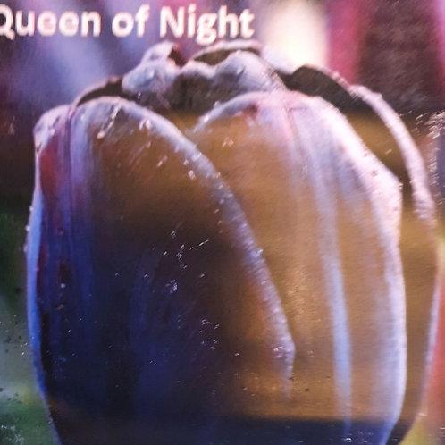 Tulip Queen of The Night - 20 Bulbs
