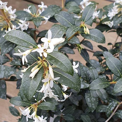 Osmanthus x burkwoodii 3l 40-50cm