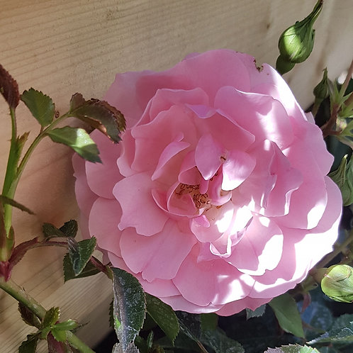 Shrub Rose - Bonica