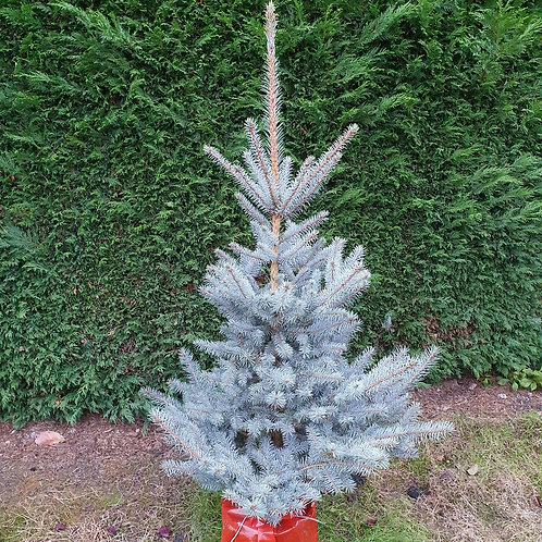 Picea - blue spruce - 4-5ft