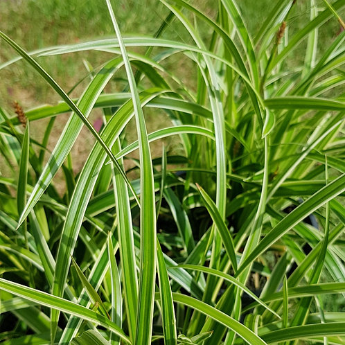 Carex morowwii Ice Dance - 2l Evergreen Grass