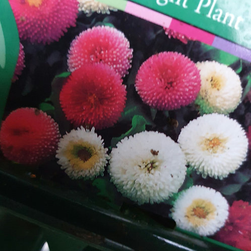 Bellis Mixed Pink White Rose - 6-pack