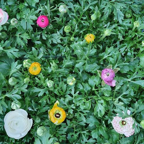 Ranunculus - potted - 3 for £10