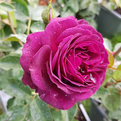 Floribunda Rose - Ebb Tide