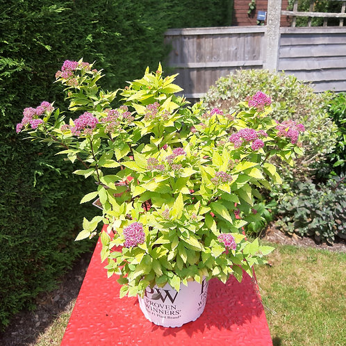 Spiraea Japonica - Double play Gold
