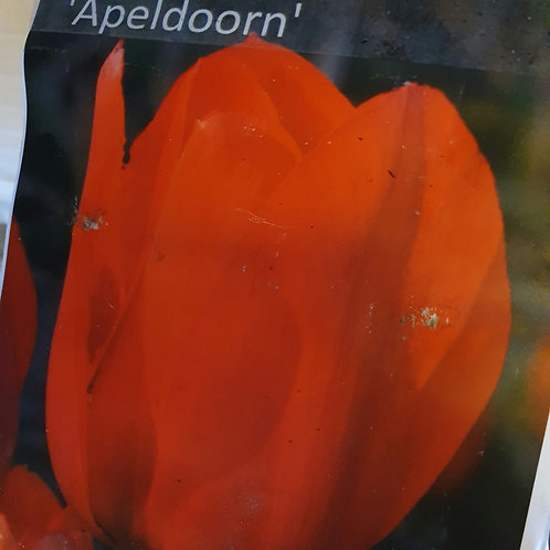 Tulip Apeldoorn - 20 bulbs
