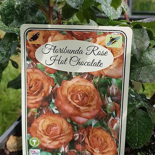 Floribunda Rose - Hot Chocolate