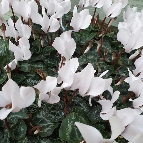 Cyclamen - White Potted
