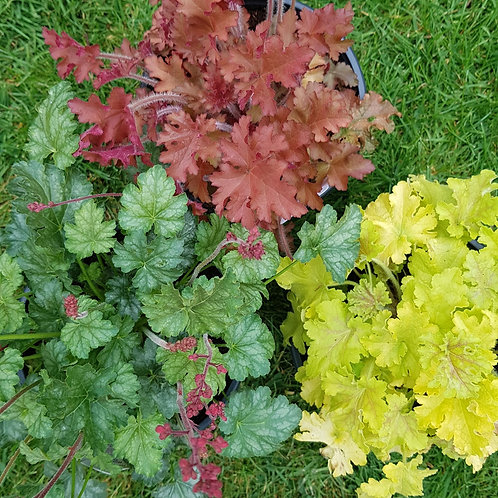 Plant & Pour - The Heuchera Selection