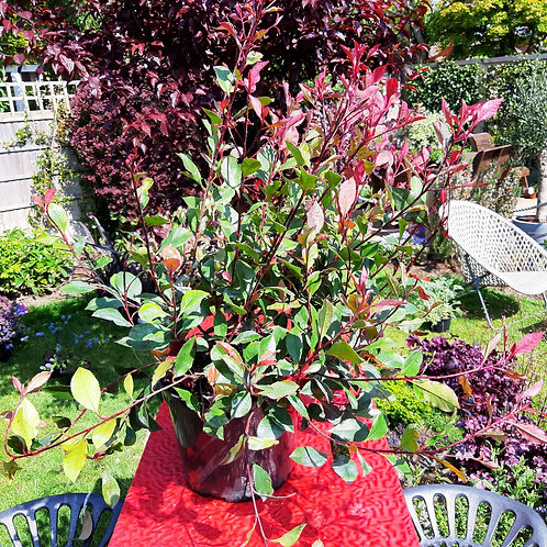 Photinia  - Little Red Robin