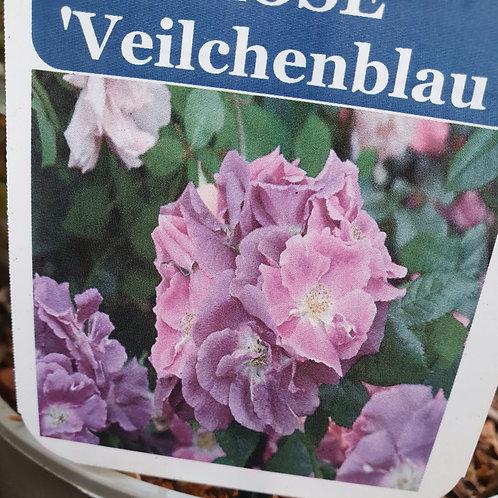 Rambling Rosa Veilchenblau