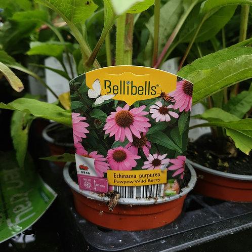 Echinacea PowPow Wild Berry - 3 for £10