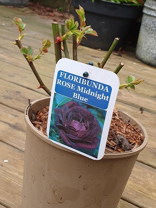 Rosa Midnight Blue
