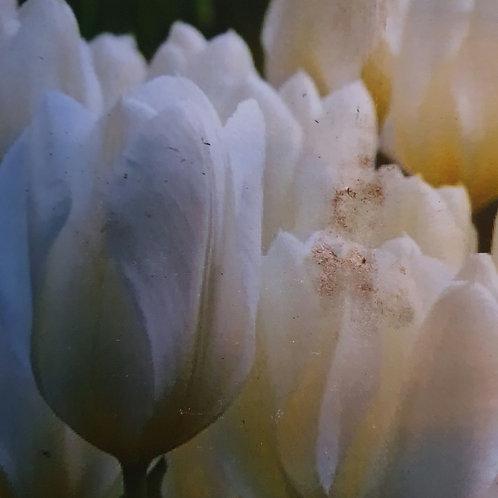 Tulip Purissima - 20 bulbs