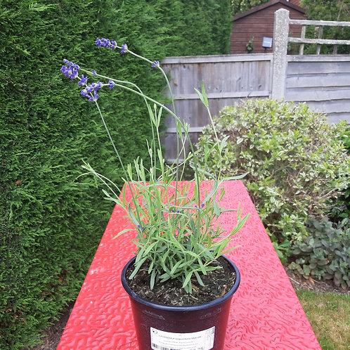 Lavender - Hidcote