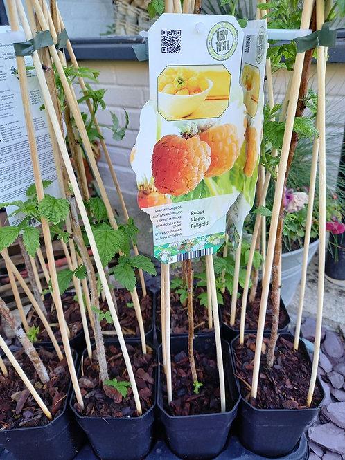 Raspberry cane - Autumn Fruiting