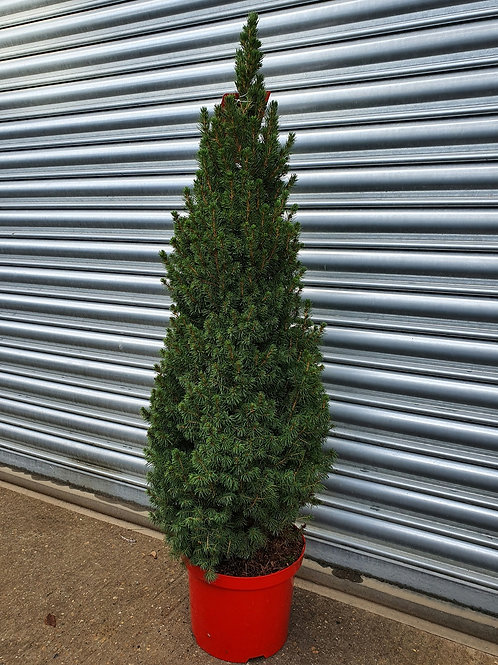 3ft Christmas Tree - potted