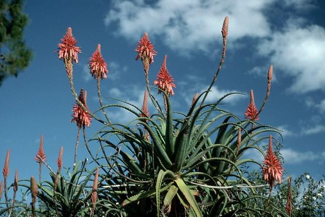 Fleur d'Aloès