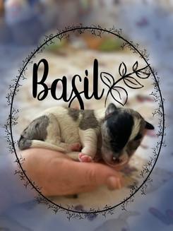 Basil (boy)