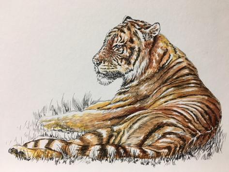 Tiger- $150