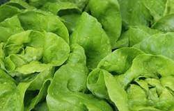 Repolhão verduras e legumes - alface .