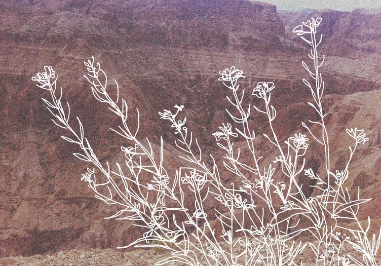 holy flower - brassica nigra.jpg