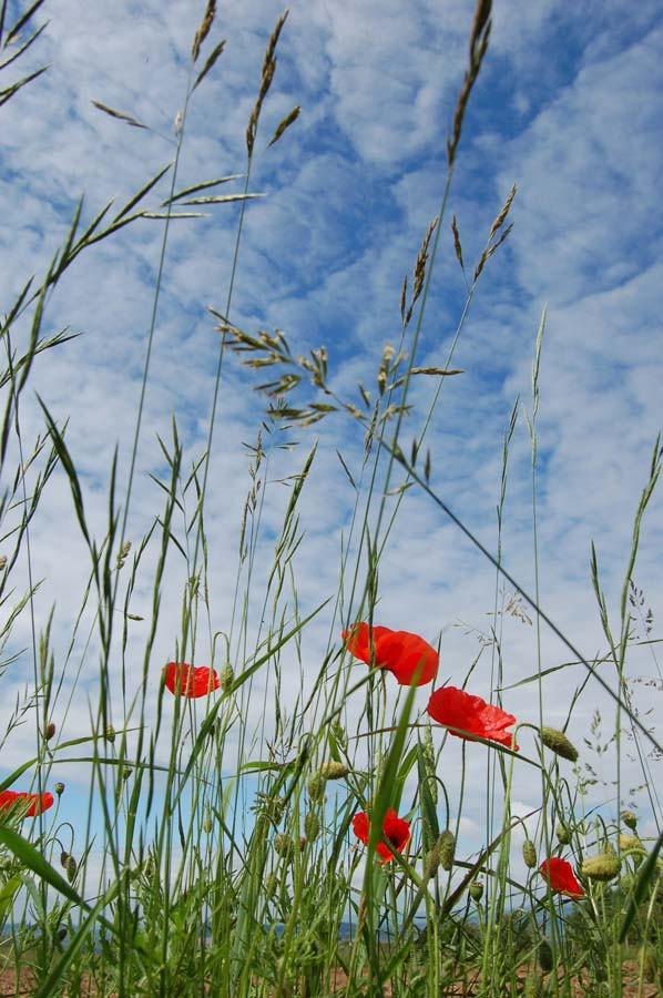 Poppy Skies