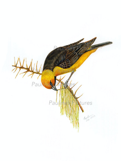 A Male Speckled Weaver